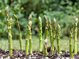 asparagus in the garden
